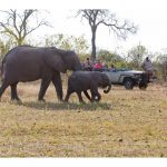 Elephants seen from safari vehicle.